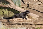 American Mink (Mustela vison)